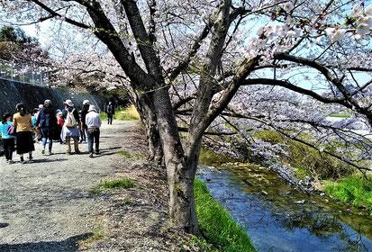 桜と清流とがコラボレーション
