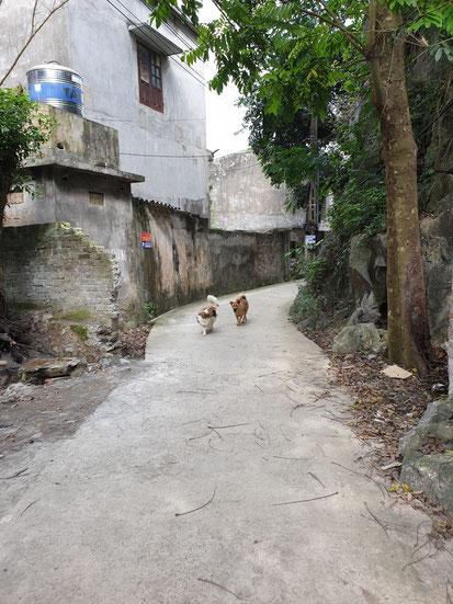 Zwei Hunde beim Spaziergang bei Tam Coc