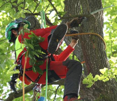 Baumpflege mit Seilklettertechnik in Köln / Bonn