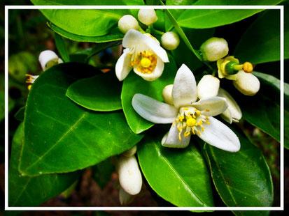 Flor de Naranjo o Azahar. Moroccan Biocosmetic.