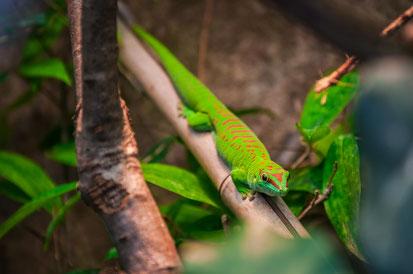 Madagaskar Taggekko auf Nahrungssuche als Wandposter online kaufen oder kostenlos lizenzfrei herunterladen