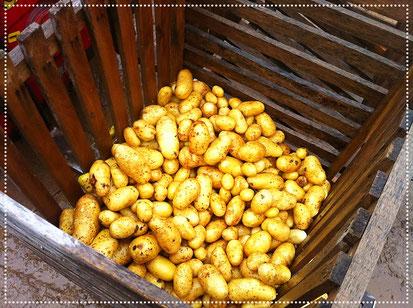 """Die """"Augen"""" der Kartoffel"""
