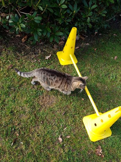 Katze Hermine springt über ein Hindernis