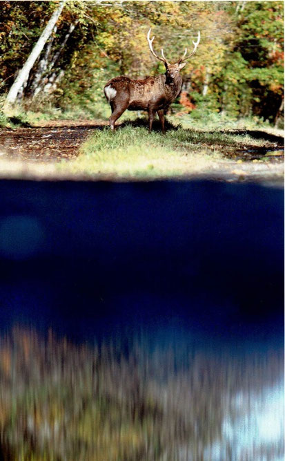 ひとり河畔に佇むエゾシカの写真