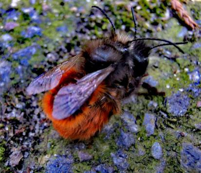 Pärchen der Gehörnten Mauerbienen bei der Paarung von Marc Wettering.