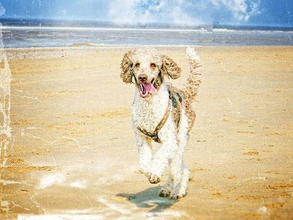 ein Hund läuft am Strand. Es ist ein Pudel. Das Fell ist lockig und braun weiß.