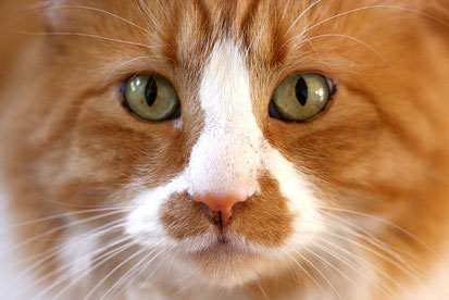 eine getigerte Katze schaut in die Kamera. Ihr Fell ist rot und weiß. Sie hat grüne Augen.