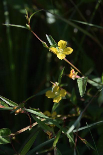 ヒレタゴボウ (鰭田牛蒡) アカバナ科 チョウジタデ属 帰化植物