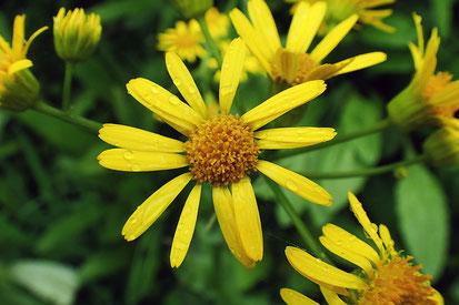 サワオグルマの花の正面  直径3.5〜5cm
