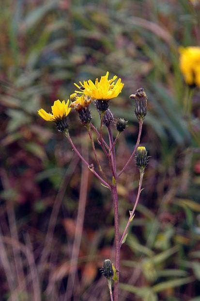 ヤナギタンポポ  2006.09.17  群馬県 野反湖