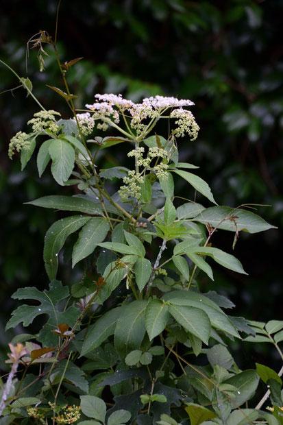 お名前不明のセリ科の植物 ➡ ソクズ (蒴藋) ガマズミ科 ニワトコ属