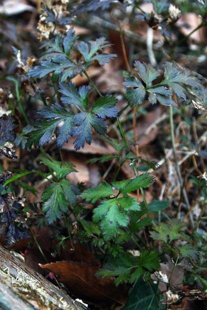 セリバオウレンの葉は2回3出複葉