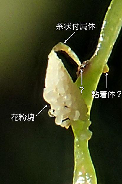 #10 オゼノサワトンボの花粉塊