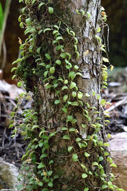 #6 近くの樹木にも着生するマメヅタラン