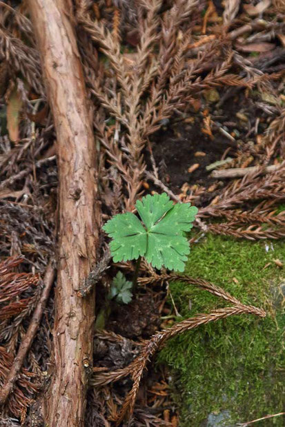 群れることが多いニリンソウだが・・見つかったのはこの葉だけ!