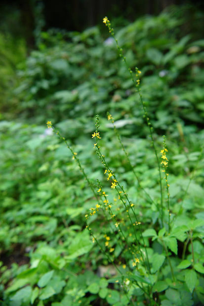 ヒメキンミズヒキ 2006.09.03 栃木県 蓬莱山