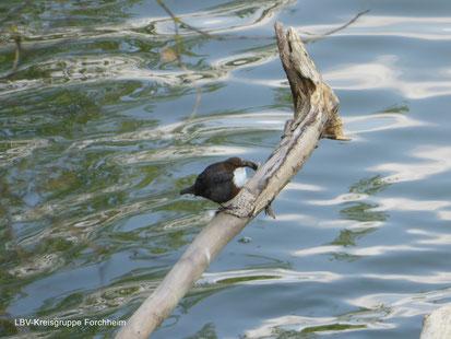 Wasseramsel im Forchheimer Zweng (Foto © Ute Wild)