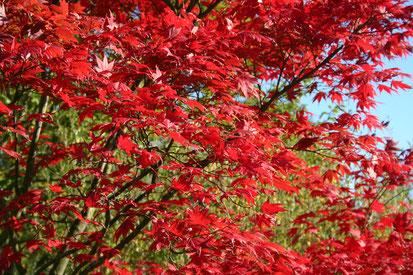 Viele Ahorn-Arten färben sich im Herbst besonders intensiv