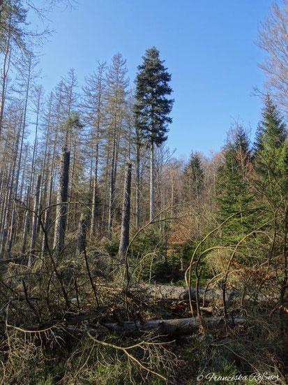 Wald im Nationalpark Hintere Sächsiche Schweiz, wo sich gerade eine neue Wildnis entwickelt.