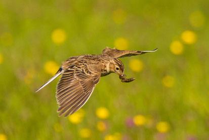 Die gefährdete Feldlerche ist der Vogel des Jahres 2019 (Foto: Jürgen Kunstmann)