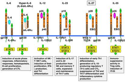 IL-6/IL-12サイトカインファミリー
