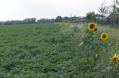Blühstreifen als wichtige Maßnahme für mehr Artenvielfalt auf landwirtschaftlich genutzten Flächen