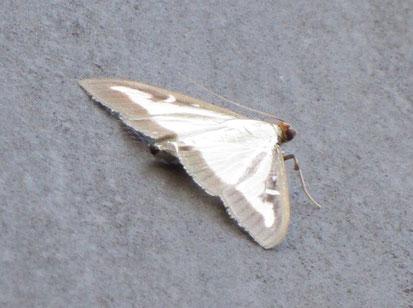 Box-tree moth Cydalima perspectalis
