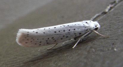 Bird-cherry ermine moth Yponomeuta evonymella