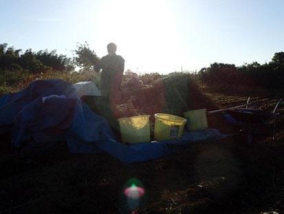 有機栽培の蕎麦作り