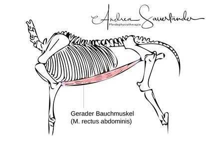 Die Bauchmuskeln beim Pferd und wie man sie trainiert - Andrea ...
