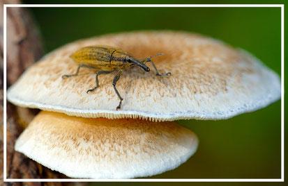 Un coleottero curculionide mette in mostra il suo inconfondibile becco a proboscide