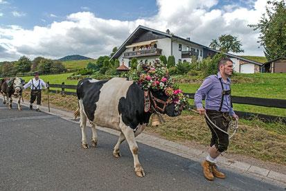 Muh macht die Kuh beim Almabtrieb in Haupersweiler.