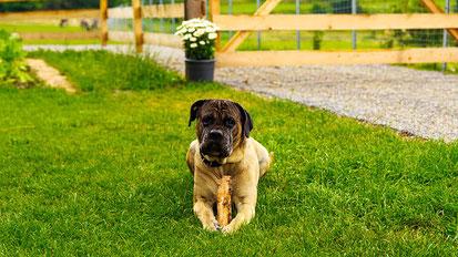 Hundehaftpflicht Kampfhund