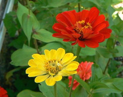 Bordure multicolore de zinnias le long du mur