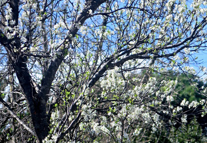 07. März 2017 - Wo Bäume schon blühen