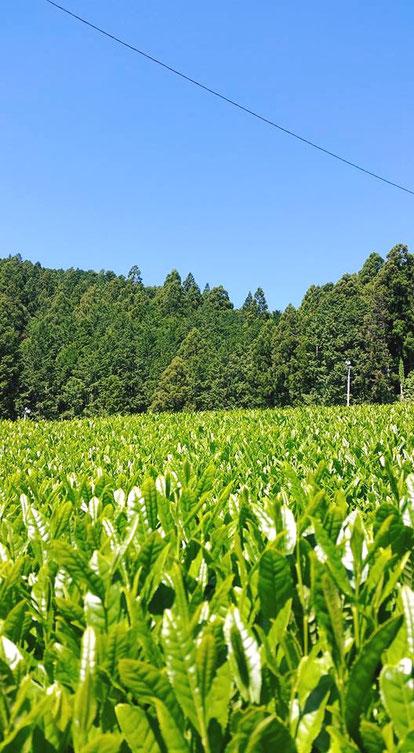 川根の有機栽培茶 樽脇園 青空
