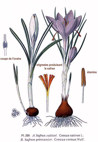 Crocus sativus & C. vernus, illustration by Amédée Masclef, from Atlas des plantes de France, 1891. Public domain.