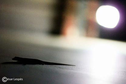 Johny Gecko, lui rien à voir, c'est mon pote le lézard