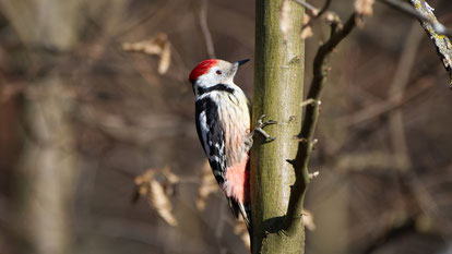 Middle Spotted Woodpecker, Mittelspecht, Dendrocopos medius