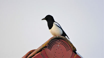 Eurasian magpie, Elster, pica pica