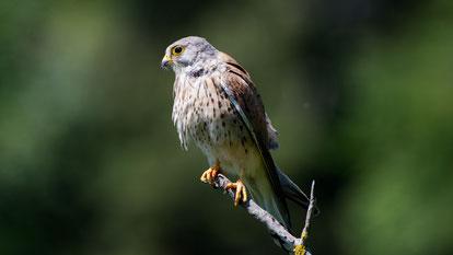 Common Kestrel, Turmfalke, Falco tinnunculus