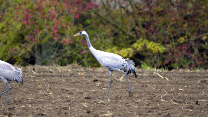 Eurasian Crane, Grauer Kranich, Grus grus