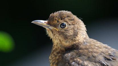 Eurasian blackbird, Amsel (Weibchen), Turdus merula