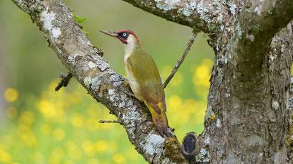 European Green Woodpecker, Grünspecht, Picus viridis