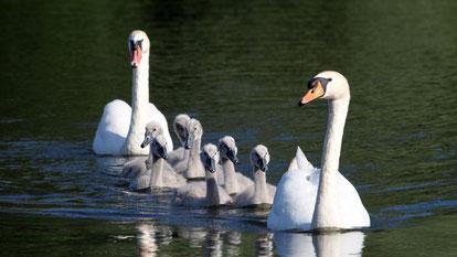 Mute Swan, Höckerschwan, Cygnus olor