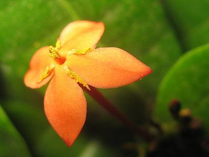 А вот и первое цветение иксоры, пока только одиночные цветочки, а вообще она цветёт шапками, очень долго. Правда оказалось что у этого сорта иксоры цветки совсем не имеют аромата.
