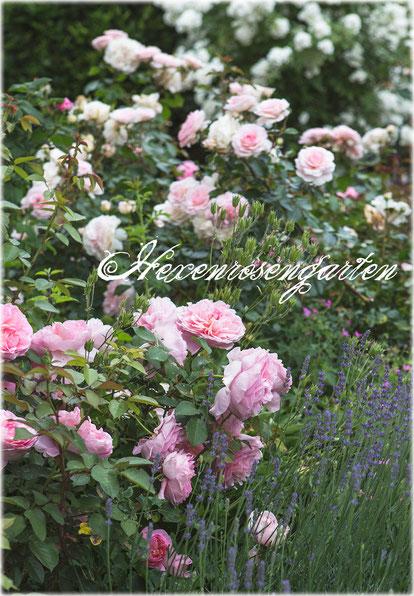 Rosen Hexenrosengarten Dames de Chenonceau und Bremer Stadtmusikanten mit Lavendel im Vorgarten