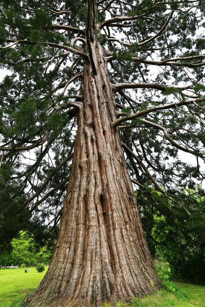 Nébucadnetsar, le roi de Babylone voit dans son rêve un immense arbre majestueux apportant nourriture et abri à de nombreux animaux sauvages. L'arbre est abattu. La souche avec ses racines est cerclée avec des chaînes en fer et en bronze pendant 7 temps.