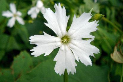 センジュガンピ (千手岩菲)  大好きな花の一つです