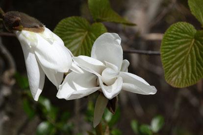 タムシバ (噛柴) モクレン科 モクレン属  花は純白